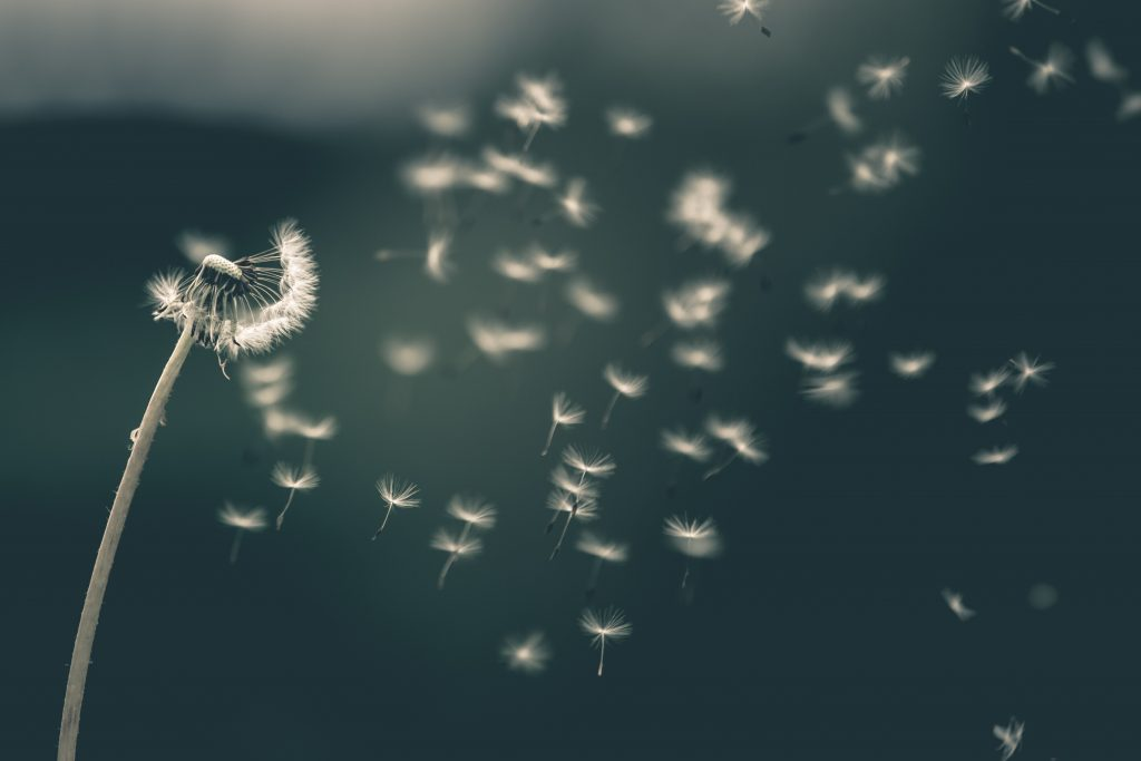 shallow focus of white dandelion